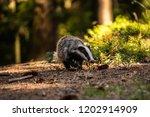 badger in forest  animal in... | Shutterstock . vector #1202914909