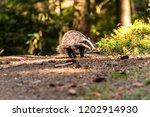 badger in forest  animal in... | Shutterstock . vector #1202914930