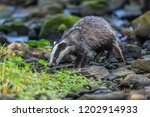 badger in forest  animal in... | Shutterstock . vector #1202914933