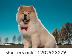 happy furry little chow chow...   Shutterstock . vector #1202923279