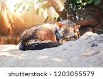 Jackal Sleep Dog   The Golden...