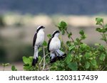 two grey backed fiscals ... | Shutterstock . vector #1203117439