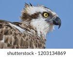 The Osprey  Bird Of Prey