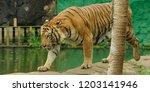 the malayan tiger  panthera... | Shutterstock . vector #1203141946