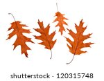 Red Oak Leaves On A White...