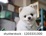 White Pomeranian Dog Smiling...