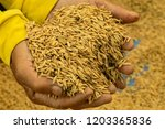 Close Up Rice Seeds On Man...
