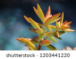 beautiful green succulent pant... | Shutterstock . vector #1203441220