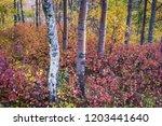 copper toned birch trunks... | Shutterstock . vector #1203441640