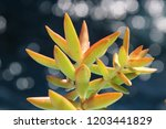 beautiful green succulent pant... | Shutterstock . vector #1203441829