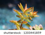 beautiful green succulent pant... | Shutterstock . vector #1203441859