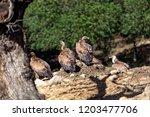 griffon vulture   gyps fulvus ... | Shutterstock . vector #1203477706