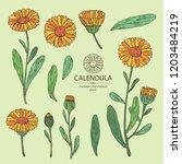 collection of calendula ... | Shutterstock .eps vector #1203484219