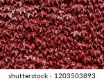 texture of leaves of a plant of ... | Shutterstock . vector #1203503893