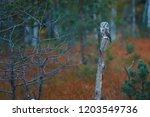 boreal owl  aegolius funereus ... | Shutterstock . vector #1203549736