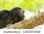 male of black howler monkey... | Shutterstock . vector #1203572020