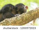 male of black howler monkey... | Shutterstock . vector #1203572023
