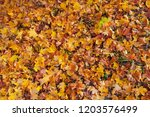 Maple Leaves During Autumn Fro...