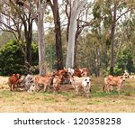Australian Cattle Country Herd...