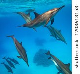 A Pod Of Spinner Dolphins...