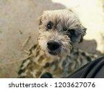 elderly dog   recovered after... | Shutterstock . vector #1203627076