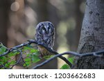 Stock photo portrait of a small brown owl with glowing yellow eyes in a beautiful natural environment boreal 1203662683
