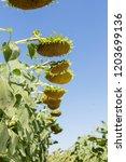 big ripe sunflower sticks out... | Shutterstock . vector #1203699136
