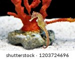 The flat faced seahorse ...