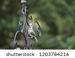 tiny chickadee titmouse... | Shutterstock . vector #1203784216
