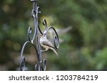tiny chickadee titmouse... | Shutterstock . vector #1203784219