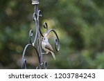 tiny chickadee titmouse... | Shutterstock . vector #1203784243