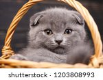 Stock photo scottish fold kittens funny gray cat in the basket a kitten looks at the camera purebred kitten 1203808993