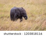 Stock photo baby elephant sucking it s trunk like a baby sucking it s thumb 1203818116