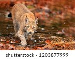 lynx walking in orange leaves... | Shutterstock . vector #1203877999