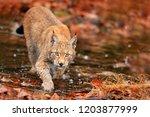 lynx walking in orange leaves... | Shutterstock . vector #1203877999