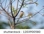 female burmese shrike.  its... | Shutterstock . vector #1203900580