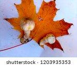 champignon on maple leaf   Shutterstock . vector #1203935353