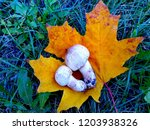 champignon on maple leaf   Shutterstock . vector #1203938326