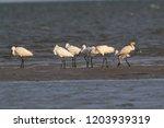 eurasian or common spoonbill in ...   Shutterstock . vector #1203939319