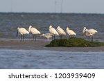 eurasian or common spoonbill in ...   Shutterstock . vector #1203939409