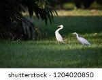 Two Great Egrets  Ardea Alba ...