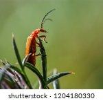 red soldier beetle  rhagonycha... | Shutterstock . vector #1204180330