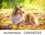 Collie Dog Lying Down On Autum...