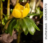 blossom buttercup anemone  ...   Shutterstock . vector #1204205773