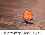cardinal in nature | Shutterstock . vector #1204241350
