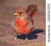 cardinal in nature | Shutterstock . vector #1204241353