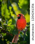 cardinal in nature | Shutterstock . vector #1204241356