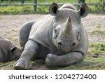 East African Black Rhinoceros...