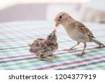 new born sparrow bird babies.... | Shutterstock . vector #1204377919
