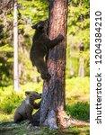 brown bear cub climbs a tree.... | Shutterstock . vector #1204384210